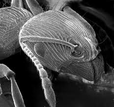 SEM Image of an ant Wikipedia